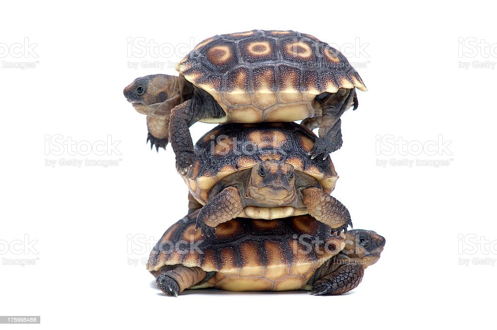 Animals : Isolated Desert Tortoise royalty-free stock photo