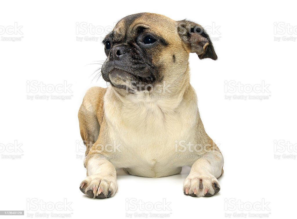 Animals : Isolated Dog Pug royalty-free stock photo