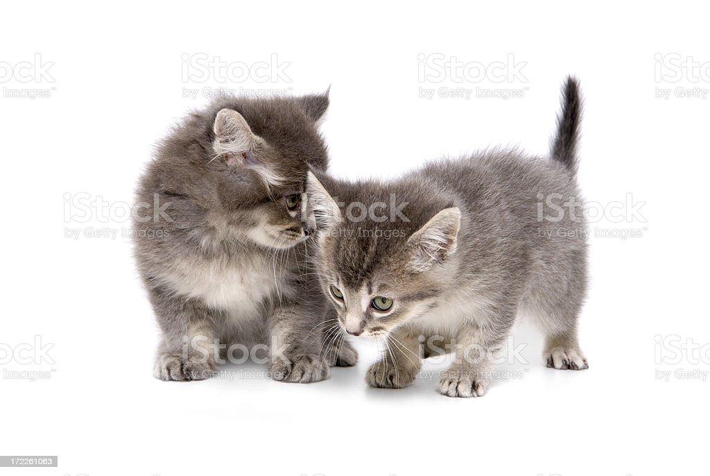 Animals : Isolated Kitten royalty-free stock photo