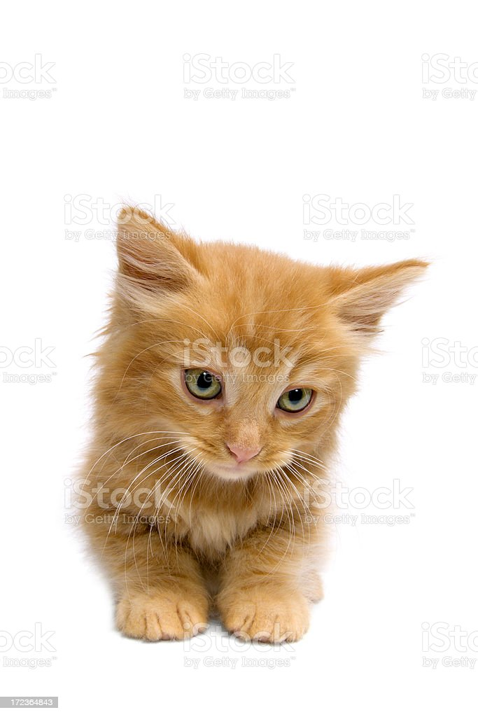 Animals : Isolated Kitten royalty-free stock photo