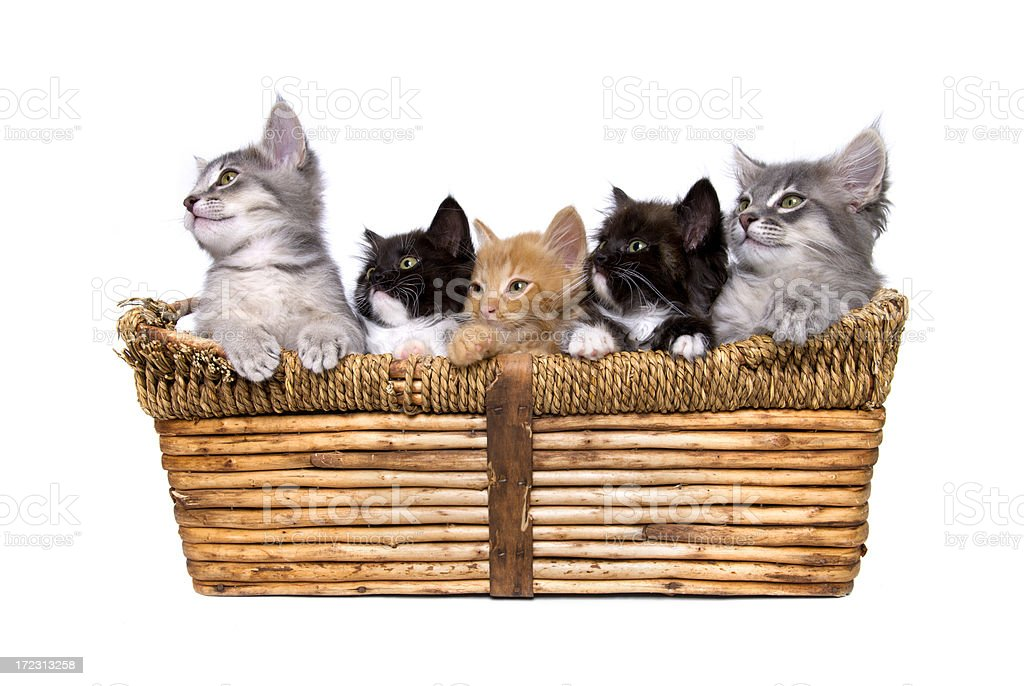 Animals : Isolated Kittens in Basket royalty-free stock photo