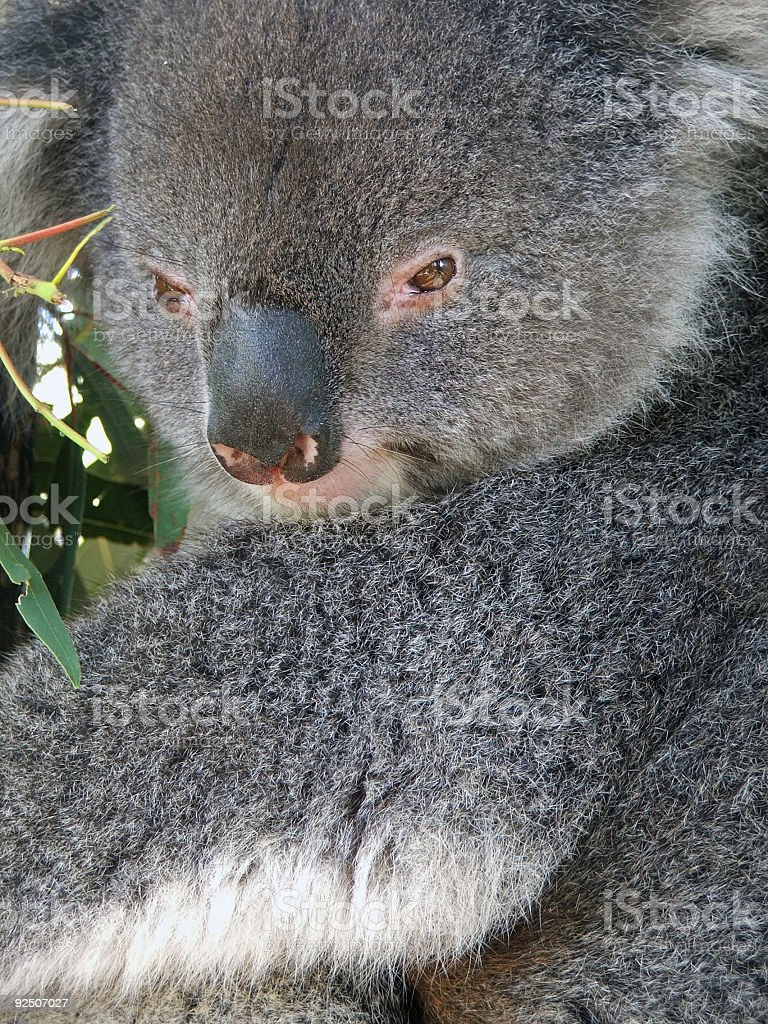 Animals - Koala Bear royalty-free stock photo