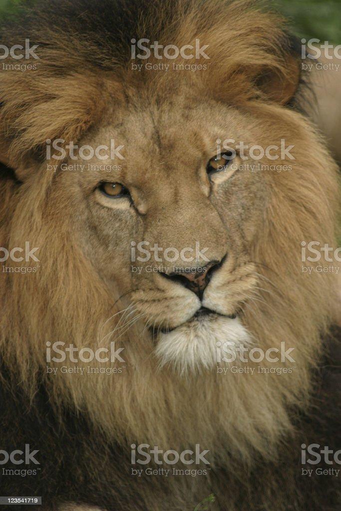 Animals - Lion royalty-free stock photo