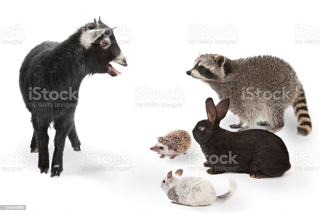 animals listening to goat on white background stock photo