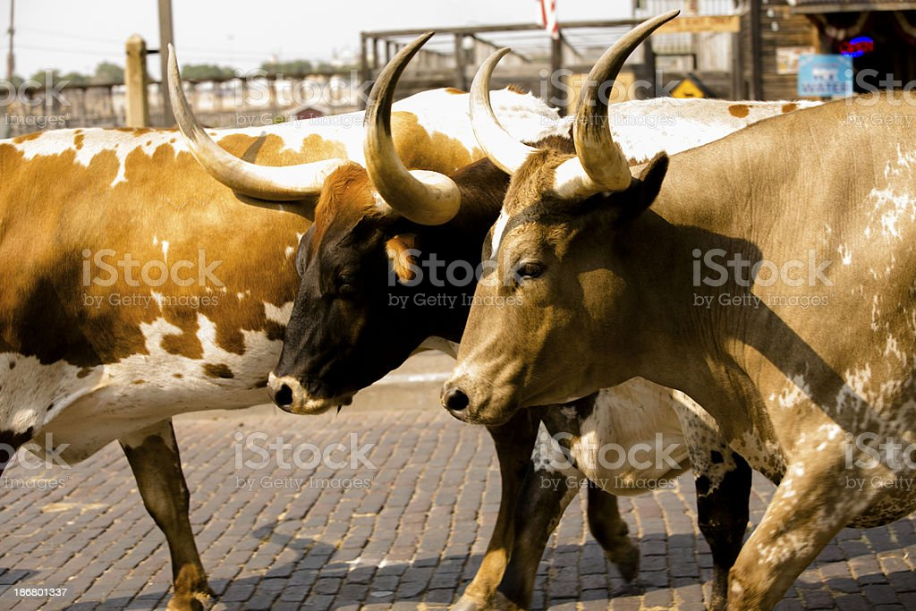 Animals: Longhorn cattle being driven through Fort Worth,Texas Stockyards. stock photo