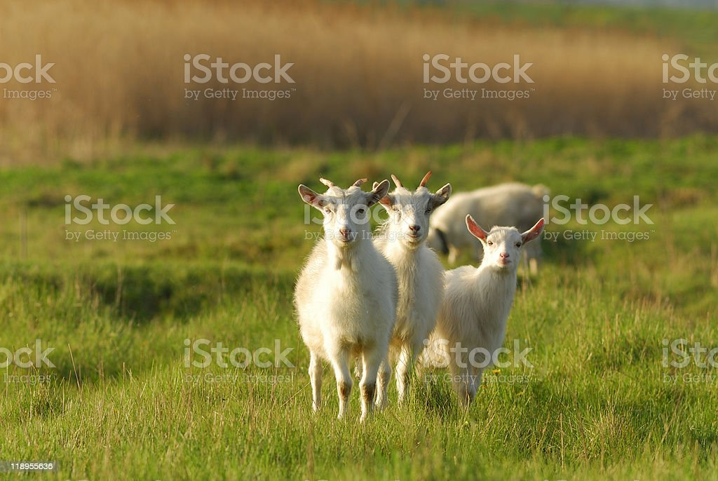 Animals on a meadow stock photo