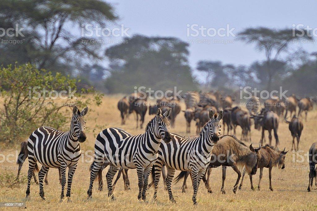 Animals on the Serengeti stock photo
