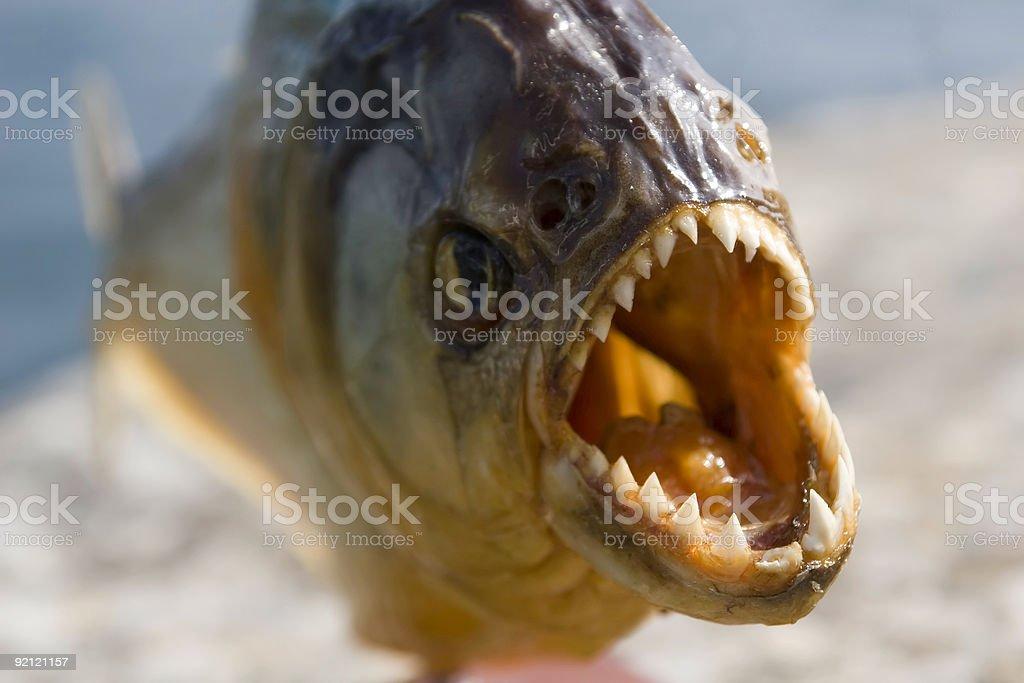 animals - piranha stock photo