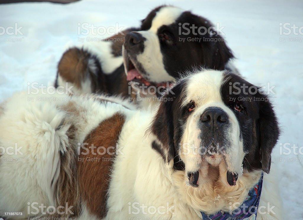 Animals : Saint Bernard Pair royalty-free stock photo