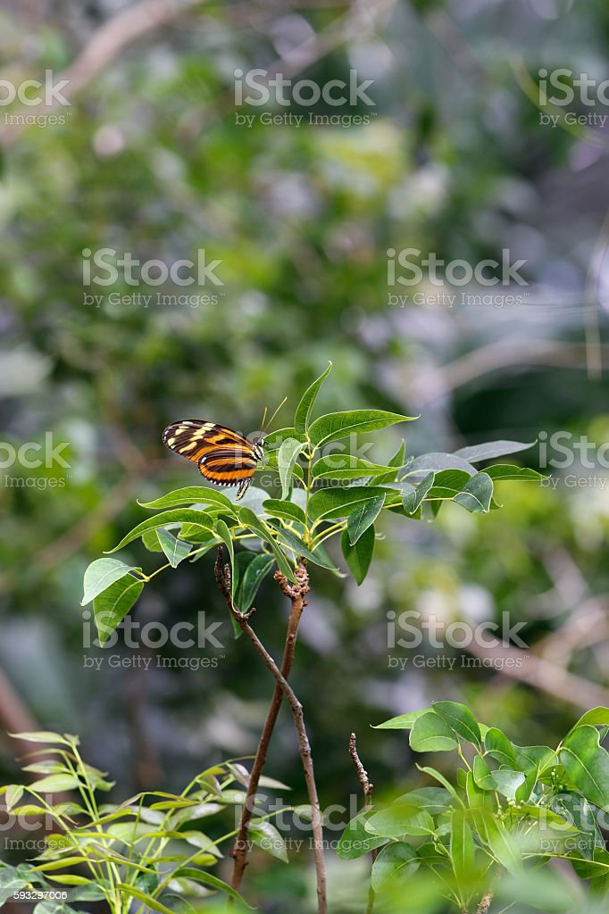 Animals: Tiger butterfly stock photo