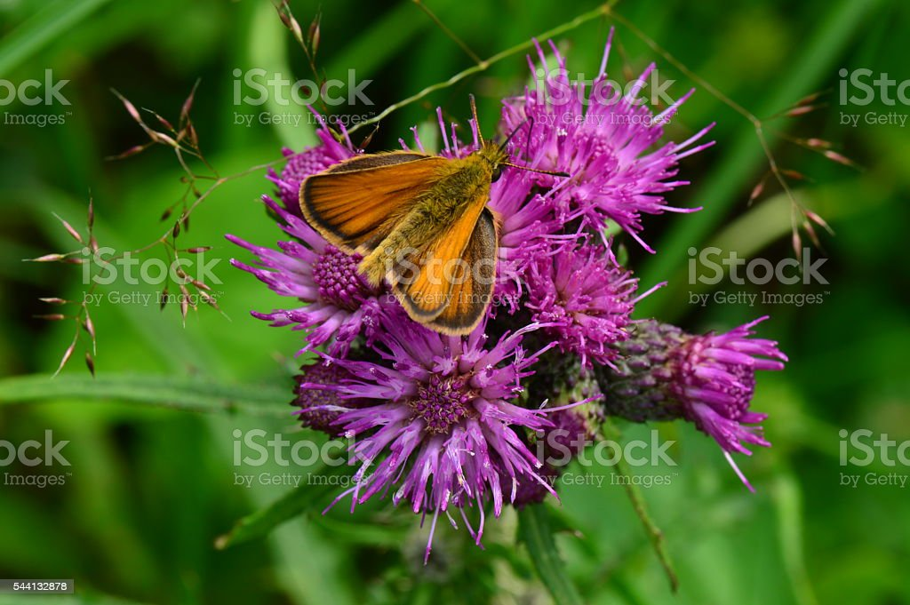 Animals wildlife insect butterfly on a purple wild flower