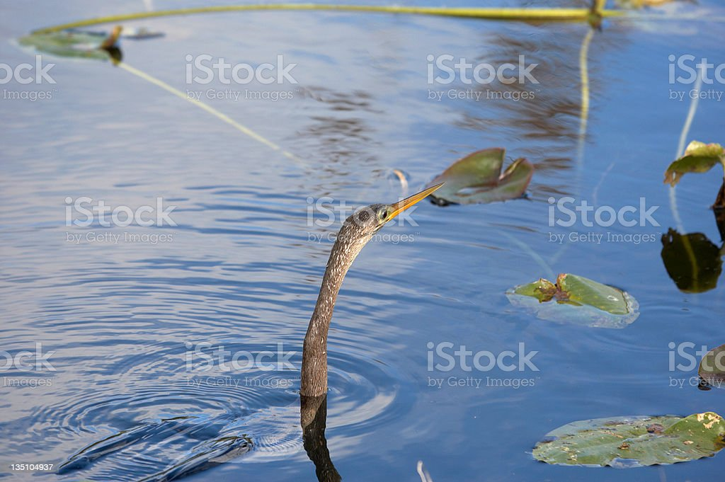 Aningha with a wriggling fish in its beak stock photo