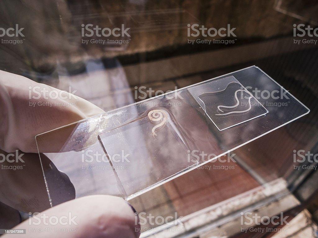 Anisakis nematode fish parasite on a slide stock photo