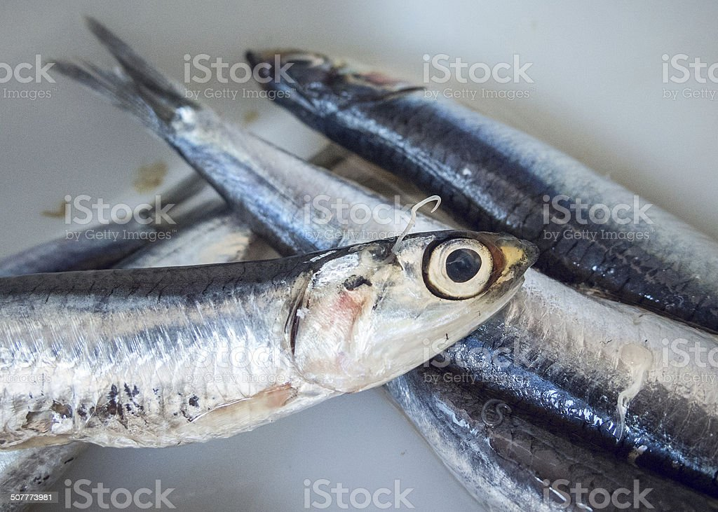 Anisakis nematode parasite over a anchovies fish stock photo
