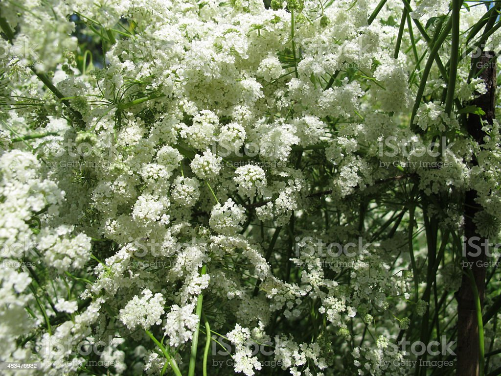 Anise, Pimpinella anisum stock photo