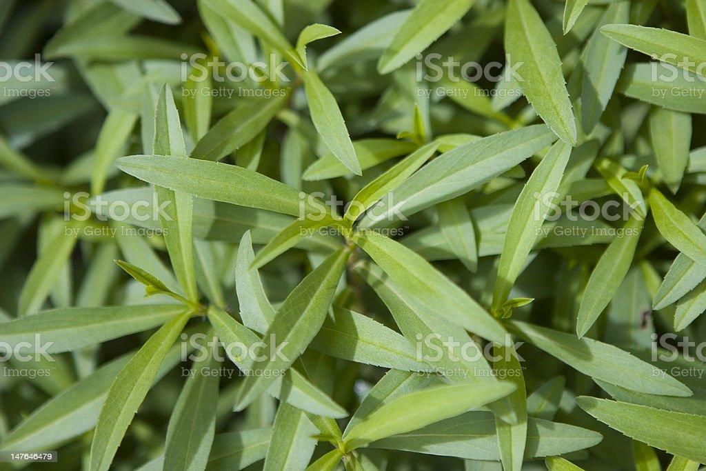 Anise plant royalty-free stock photo