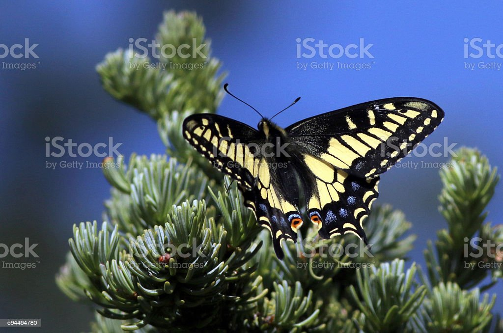 Anise Swallowtail Butterfly Resting stock photo