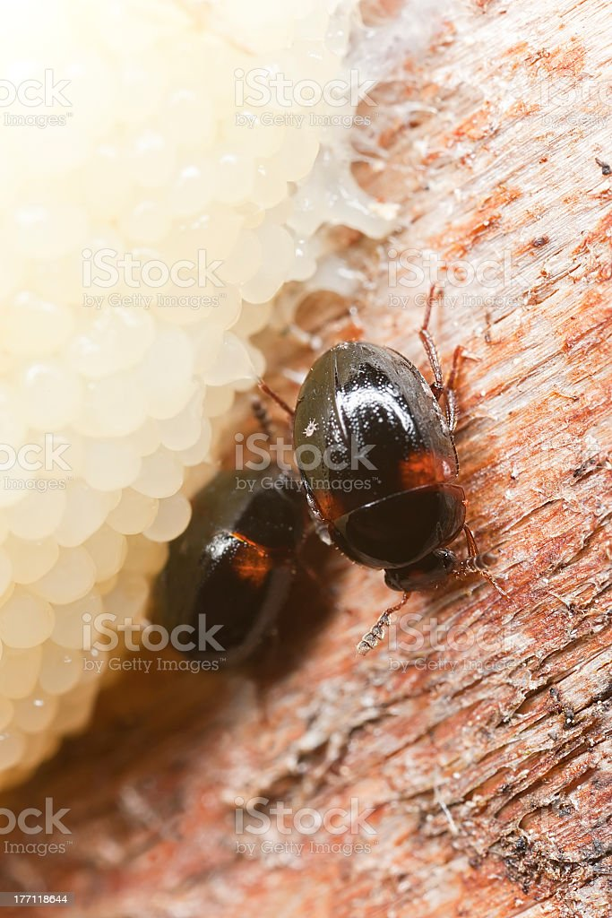 Anisotoma axillaris (Leiodidae) feeding on mushroom stock photo