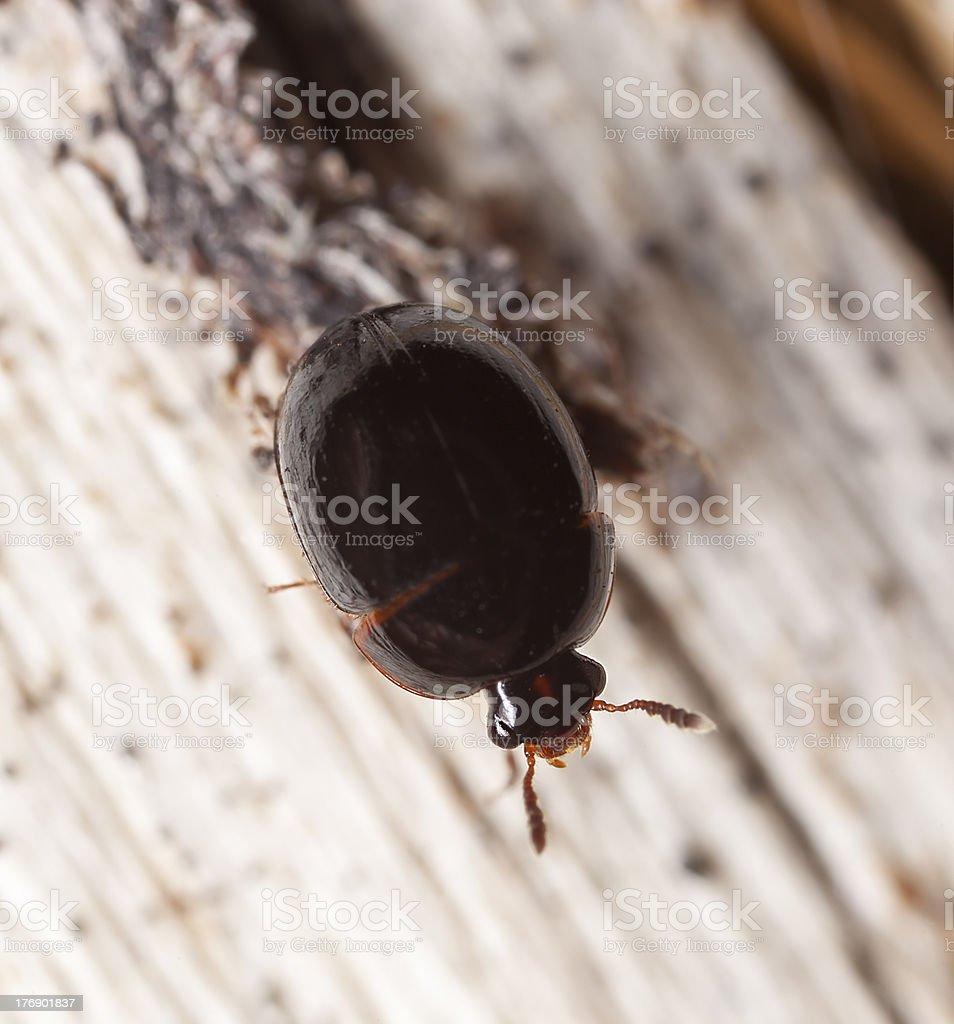 Anisotoma glabra (Leiodidae) sitting on wood stock photo