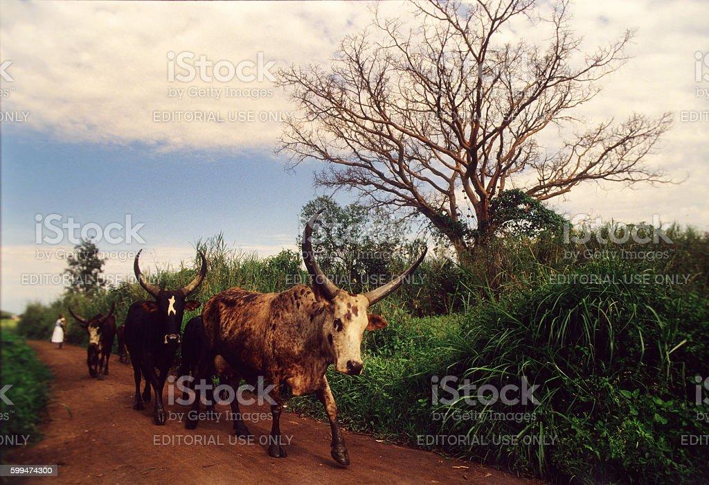 Ankole cattle near Fort Portal, Uganda stock photo