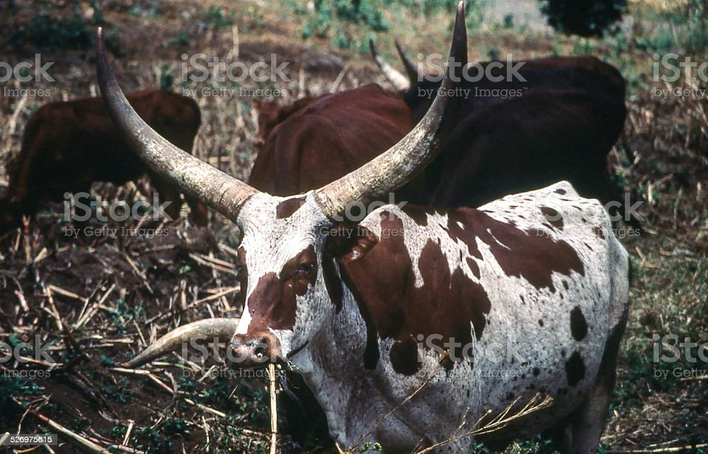 Ankole Longhorn Cattle Northwest Rwanda Africa stock photo