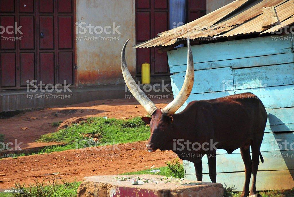 Ankole longhorn cattle stock photo