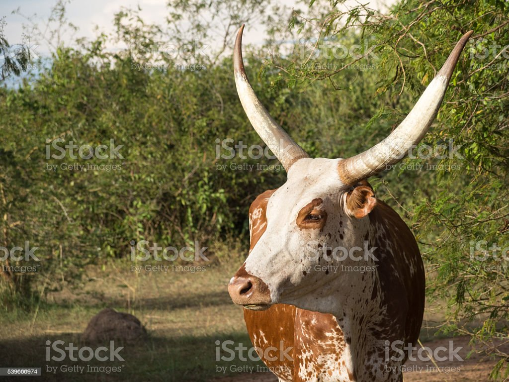 Ankole Longhorn Cow stock photo