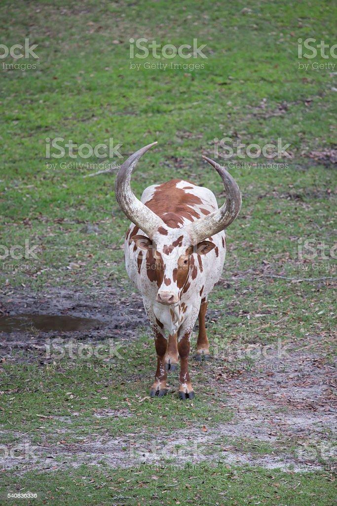 Ankole - Watusi cattle brown and white stock photo