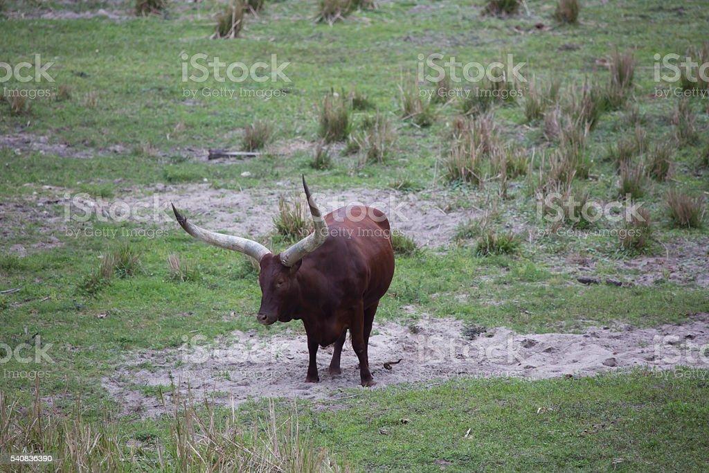 Ankole - Watusi cattle brown standing stock photo