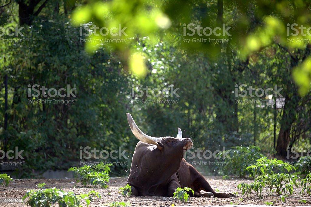 Ankole Watusi standing in a zoo stock photo