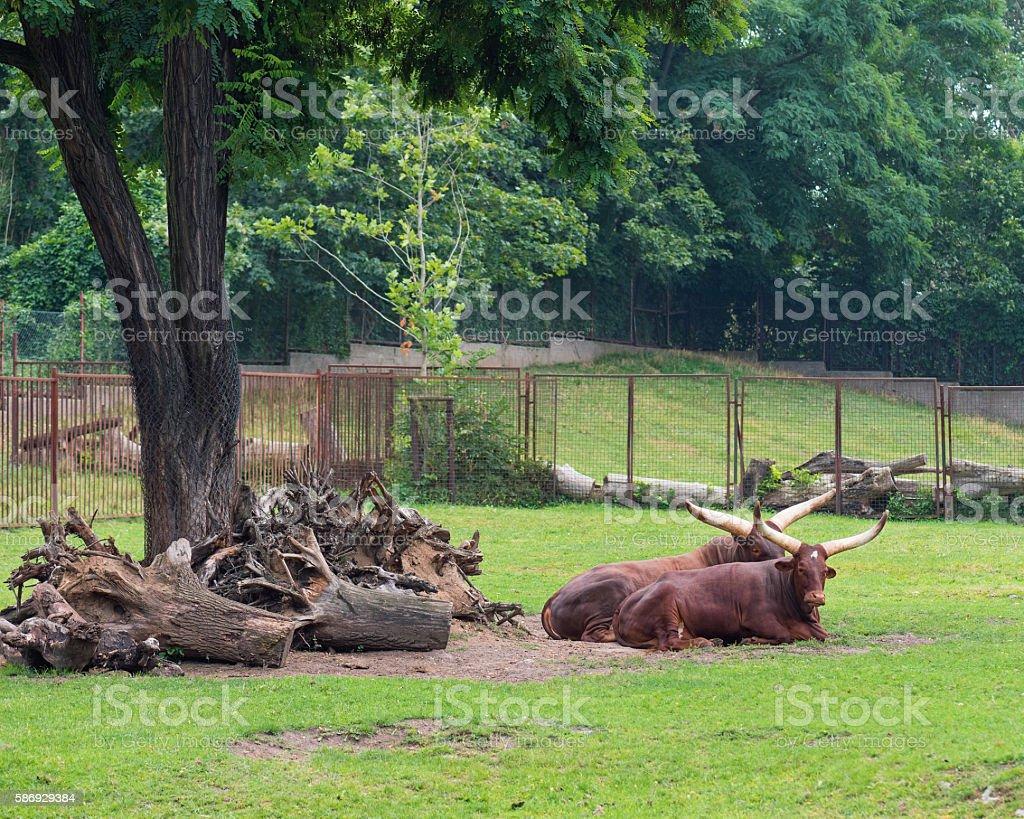 Ankole-Watusi in zoo stock photo