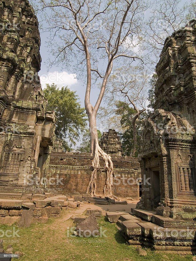Ankor Tree stock photo