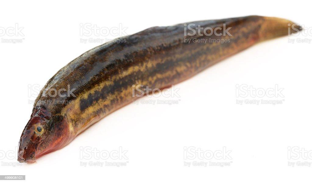 Annaldale Loach or gutum fish of Bangladesh stock photo