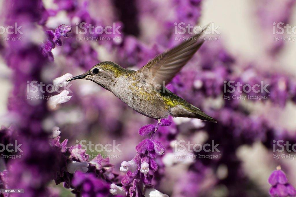 Anna's hummingbird, Calypte anna, feeding on Salvia leucantha stock photo
