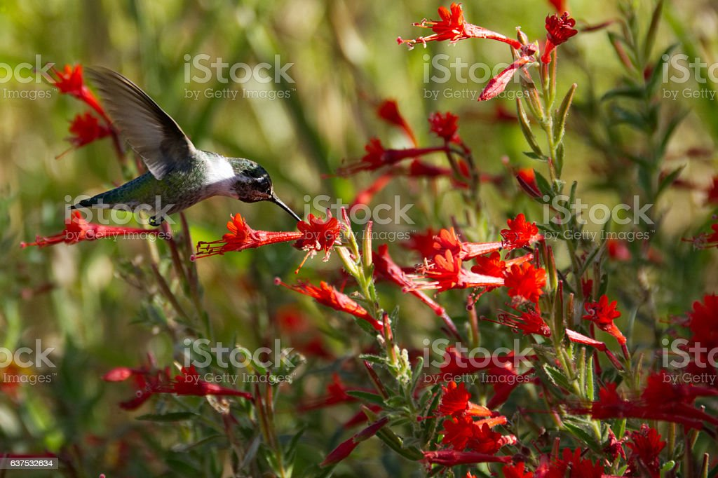 Anna's Hummingbird feeding in a field of red California Fuchsia. stock photo