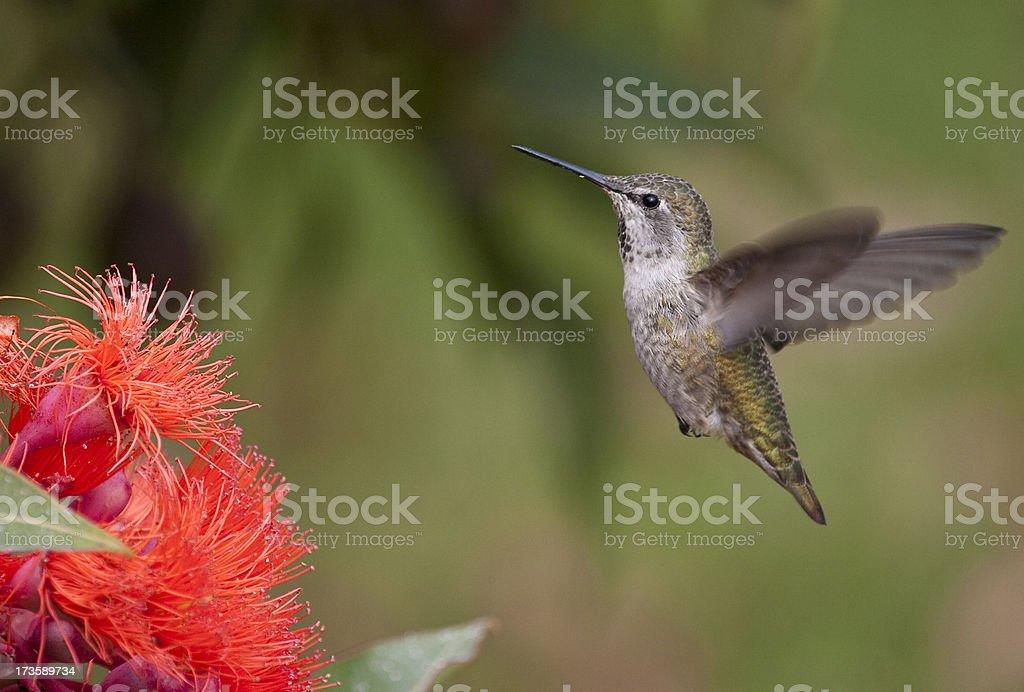 Anna's hummingbird in flight stock photo