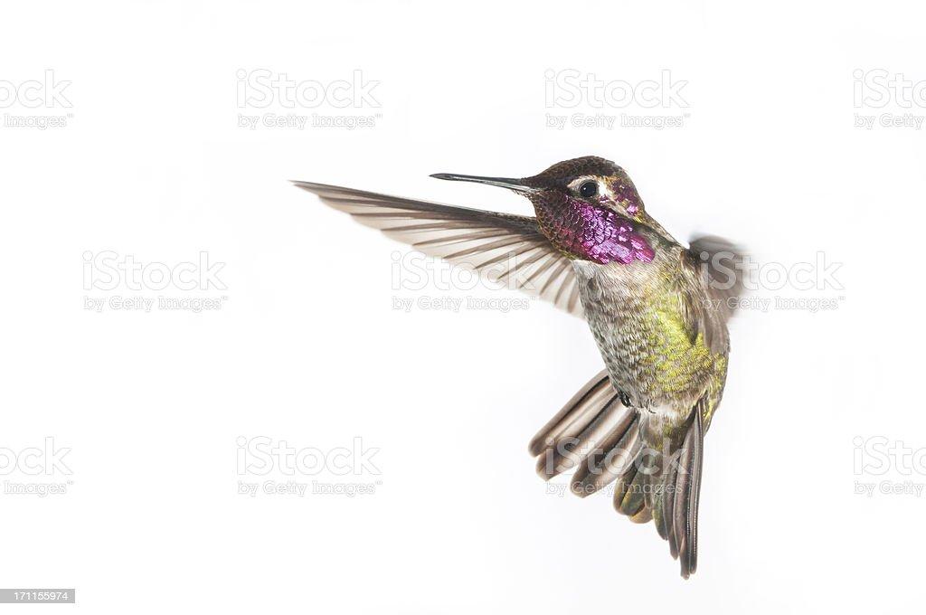 Annas Hummingbird - Male. White Background stock photo