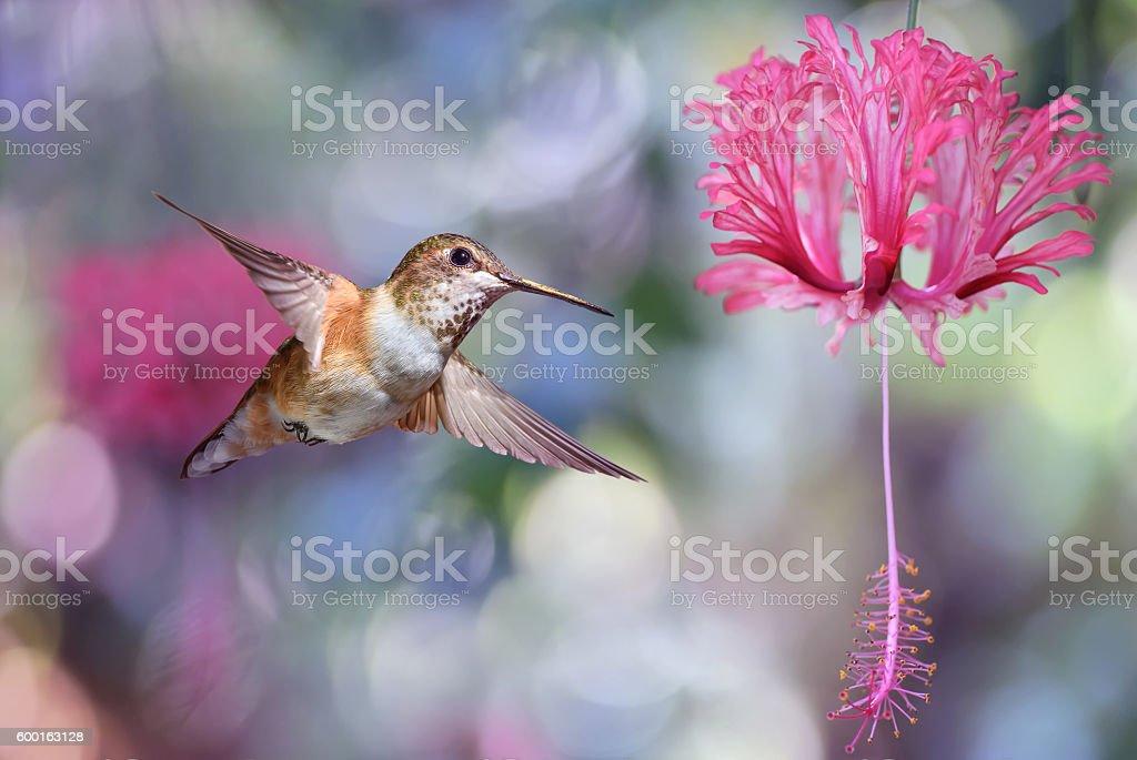 Annas Hummingbird over blurred purple background stock photo