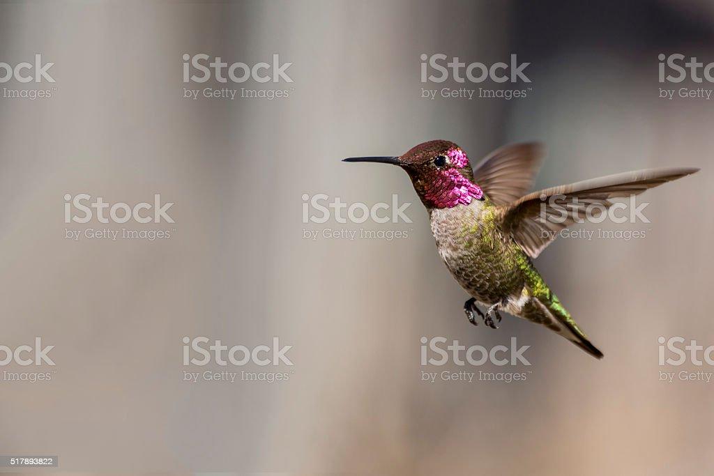 Anna's Hummingbird with Pollen stock photo