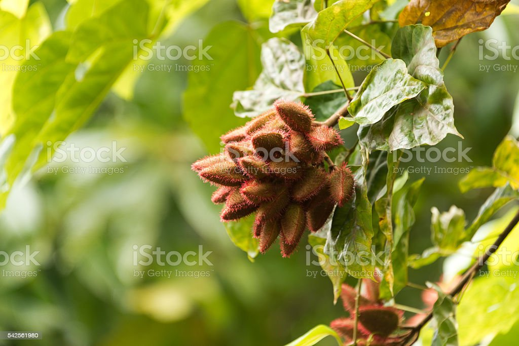 annatto food coloring seed stock photo