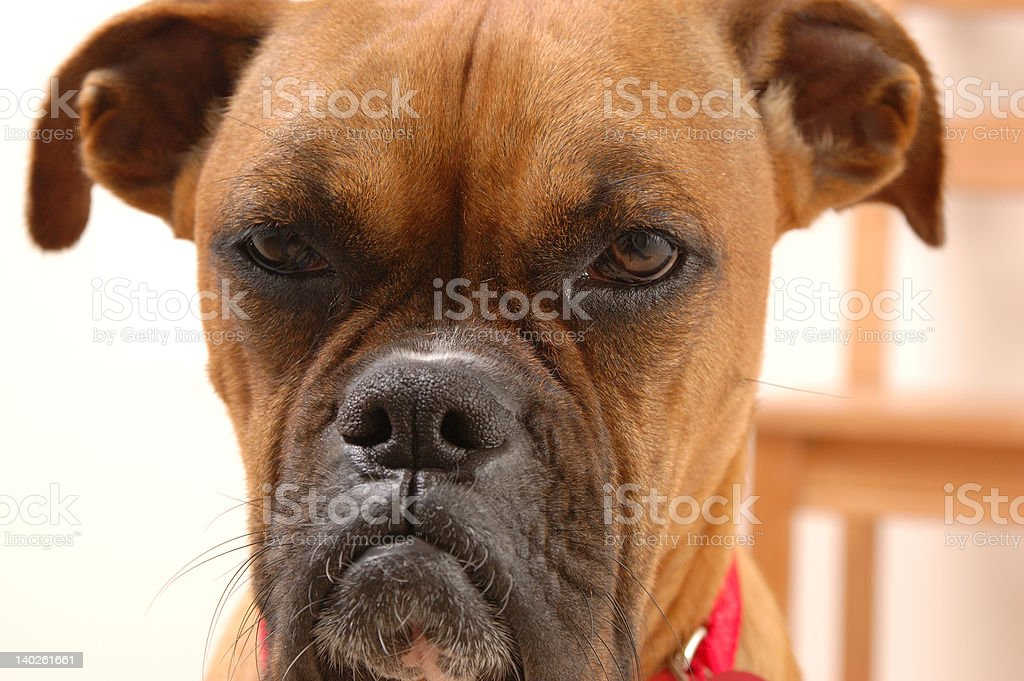 Annoyed Boxer stock photo