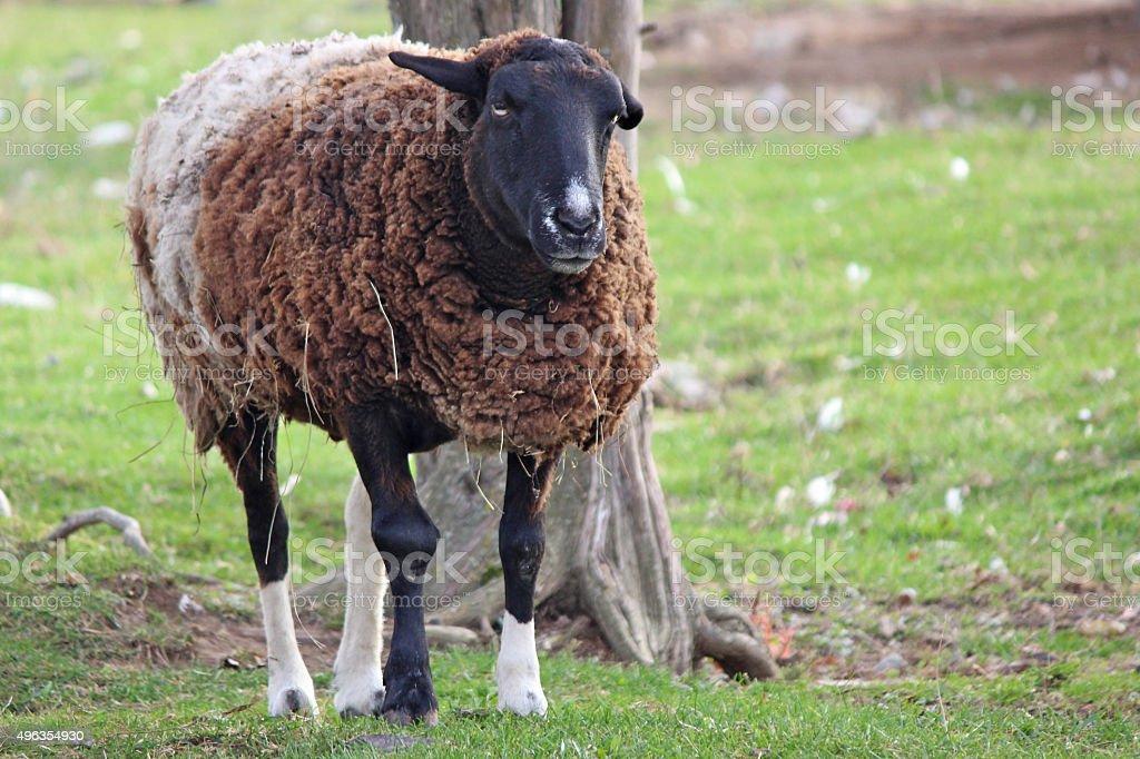 Annoyed Sheep stock photo