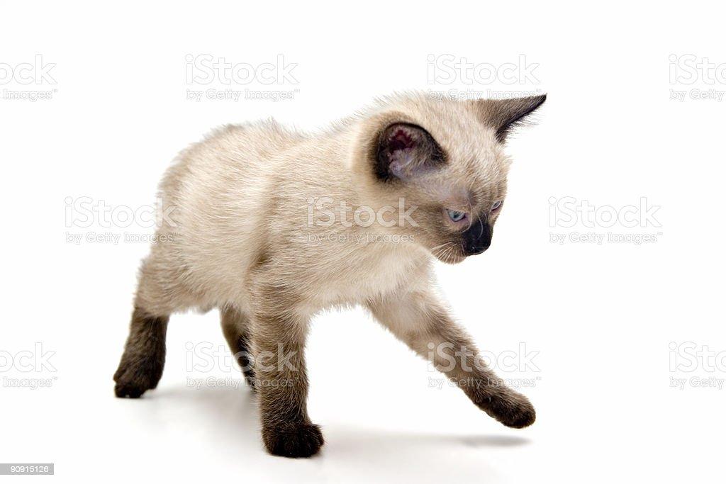 Annoyed Small Kitten royalty-free stock photo