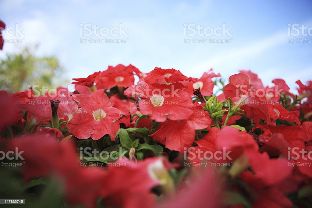 Annual Flowers royalty-free stock photo