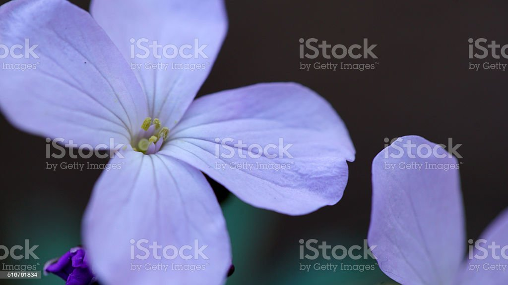 Annual honesty flowers stock photo