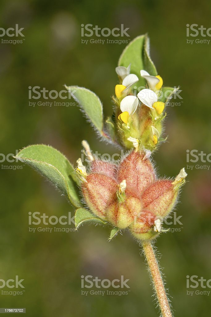 Annual Kidney Vetch (Tripodion tetraphyllum) flower. royalty-free stock photo