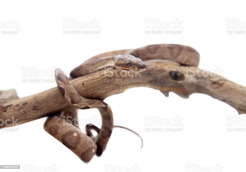 Annulated Boa on white background stock photo