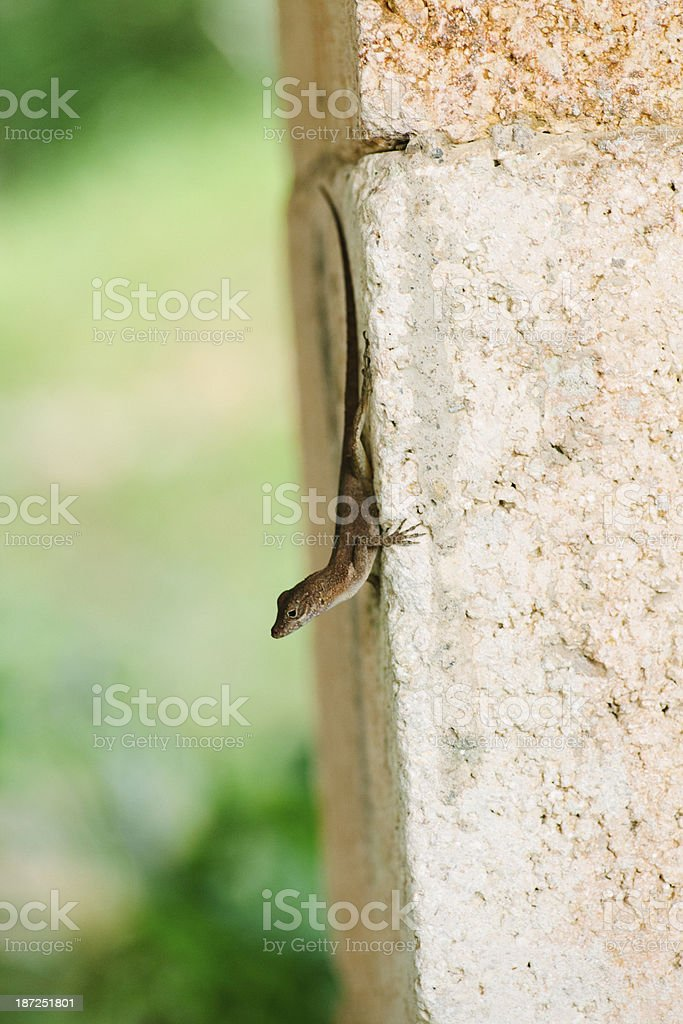 anole lizard royalty-free stock photo