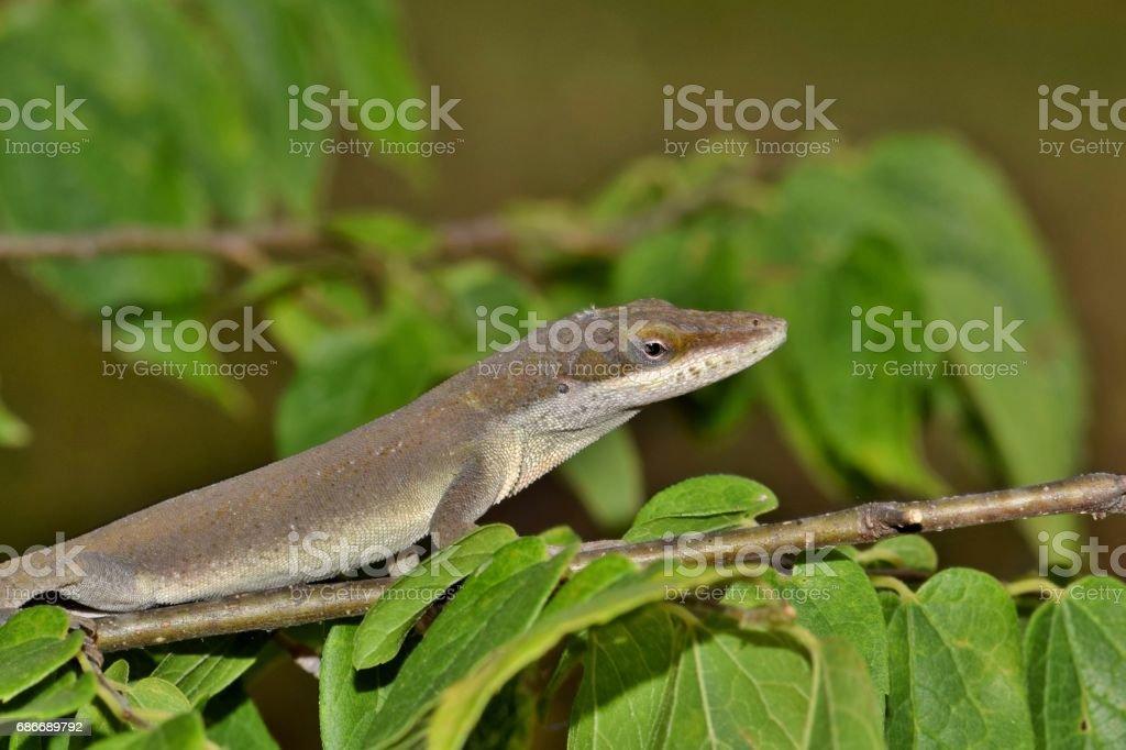 Anole Lizard stock photo