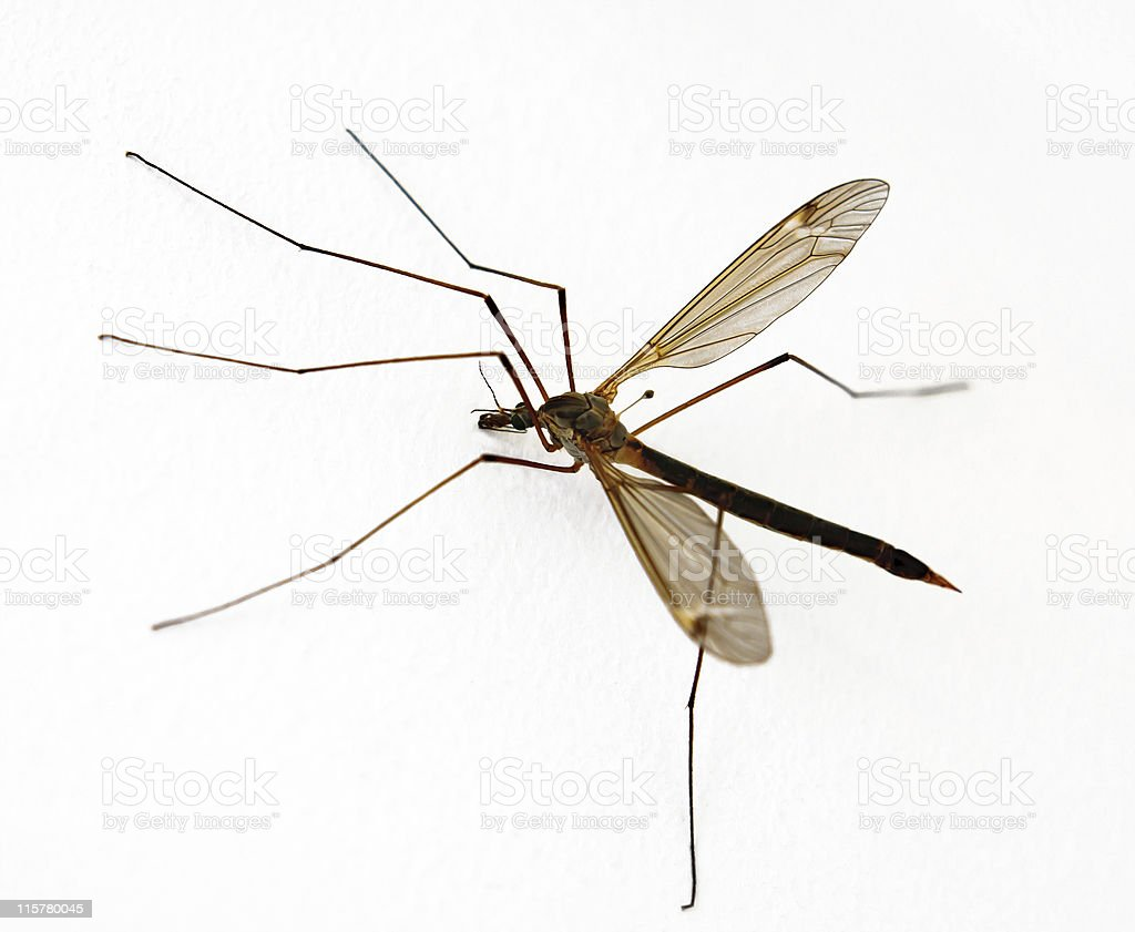 Anopheles Mosquito on white background royalty-free stock photo